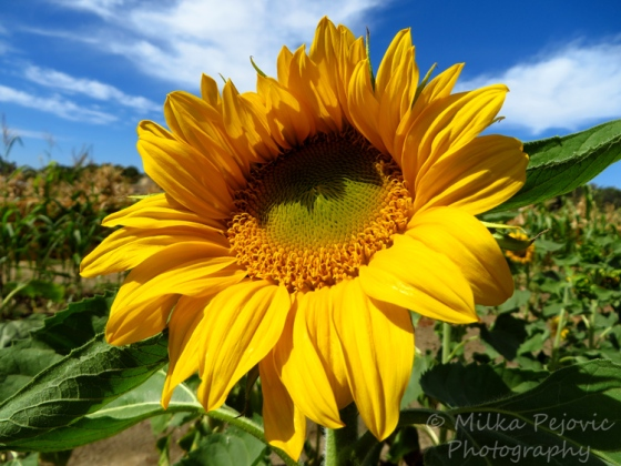 Capture The Colour 2013 photo contest - yellow sunflower