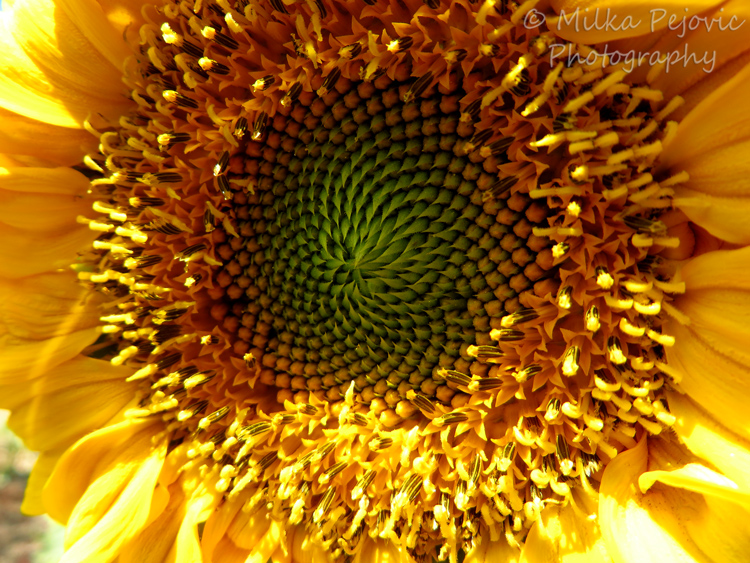 Seeds growing inside a sunflower