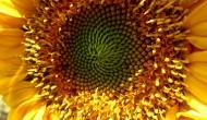 Floral Friday Fotos: bright yellowsunflower