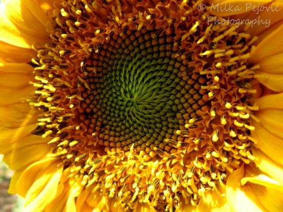 Seeds growing inside a sunflower