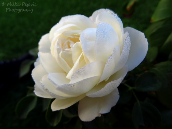 Macro Monday: morning dew on a white rose