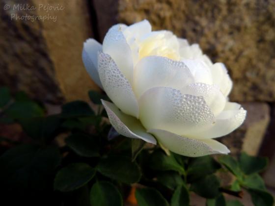 Dew drops on rose petals