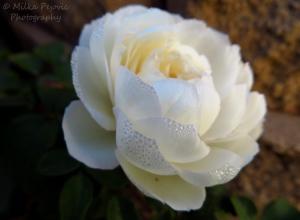 Wordpress weekly photo challenge: Layers of white rose petals