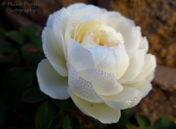 Travel theme: delicate morning dew drops on a white rose