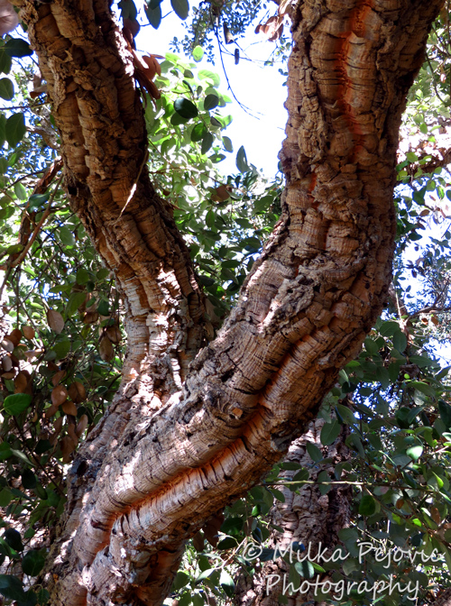 Travel theme: Brown cork oak tree bark