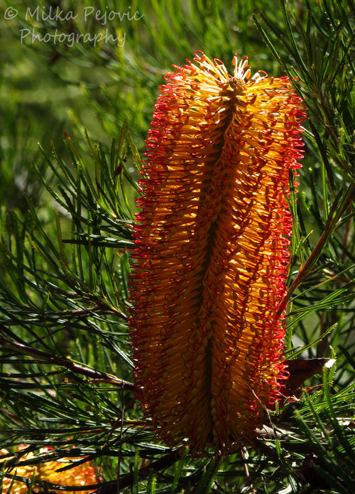 Macro Monday: hairpin banksia shrub bloom