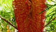 Macro Monday: the hairpin banksia shrub and itsblooms