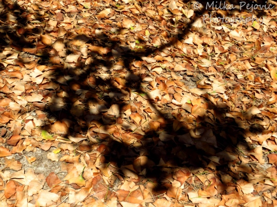 Travel theme: Brown ginkgo leaves