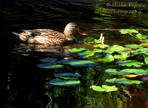Brown mallard female duck swimming in a pond with tree reflections