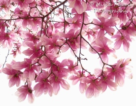 April 2015 - pink magnolia blossoms