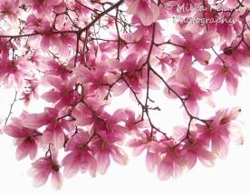 April 2015 - pink magnolia blossoms