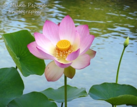 April 2015 - pink lotus flower and lotus seed pod