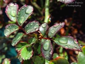 April 2015 - raindrops on rose tree leaves