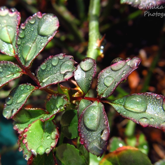 April 2015 - raindrops on rose tree leaves