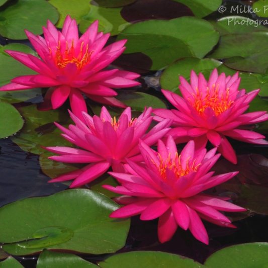 August 2015 - pink water lilies