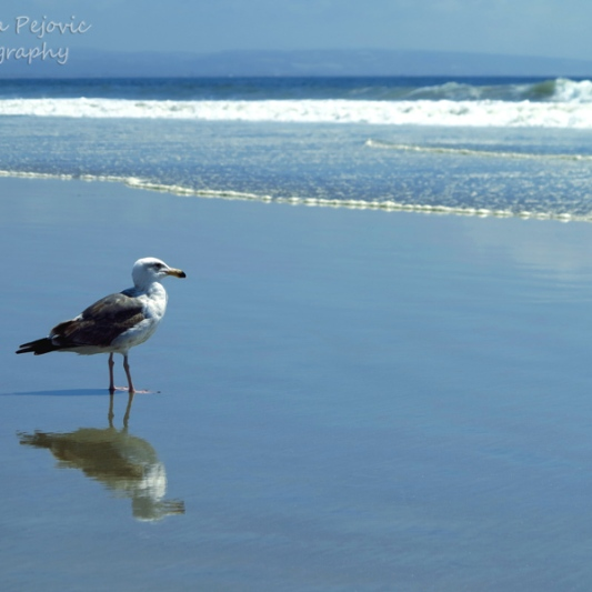 August - seagull on Coronado beach