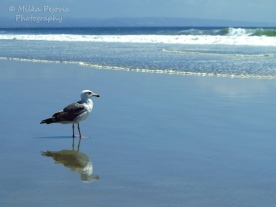 August 2015 - seagull in front of Pacific ocean on Coronado Beach