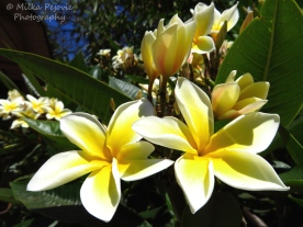 August 2015 - plumeria blooms