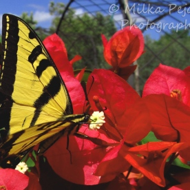 August 2015 - yellow tiger swallowtail on pink bougainvilea