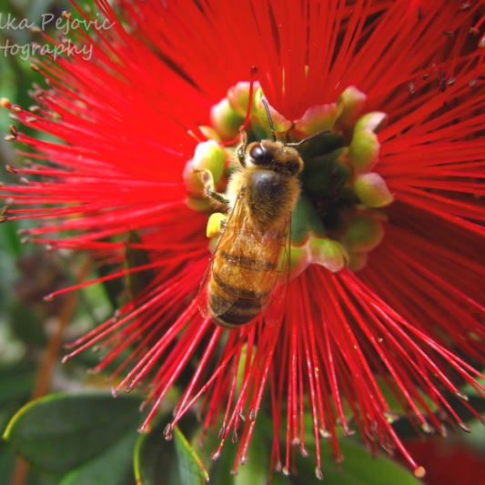 December 2015 - bee on red bottle brush
