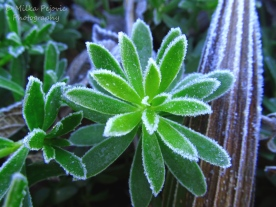 December - frost on ice plant