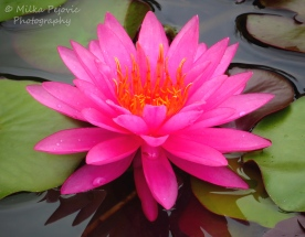 December 2015 - pink water lily