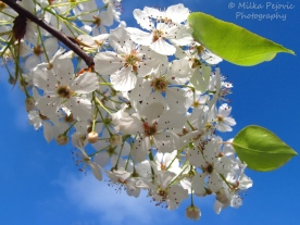 February 2015 - pear blossoms