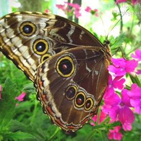 February 2015 - gypsy moth butterfly