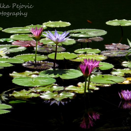 February 2015 - pink and purple water lilies