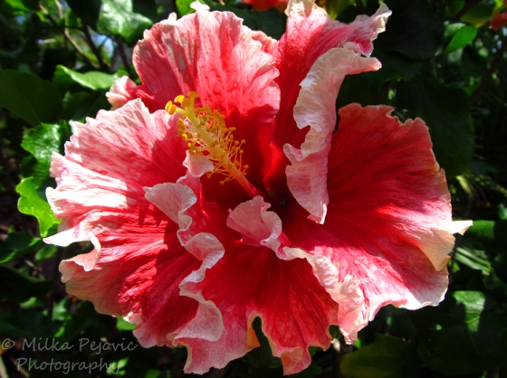 Pink and white hibiscus flower