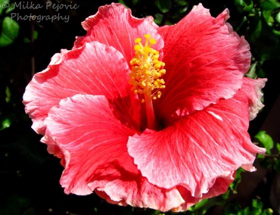Macro Monday: pink hibiscus flower
