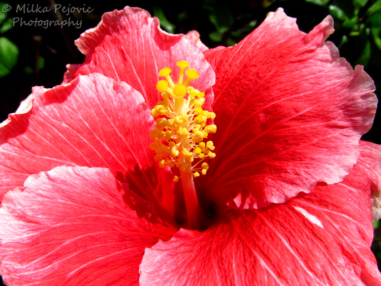 Close-up of a pink hibiscus flower