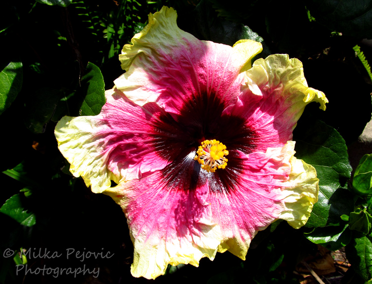 Purple and yellow hibiscus flowerPurple and yellow hibiscus flower