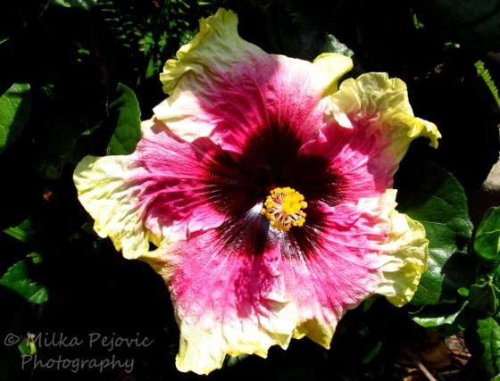Purple and yellow hibiscus flowerPurple and yellow hibiscus flower