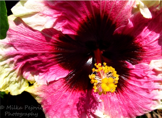Close-up of a purple and yellow hibiscus bloom