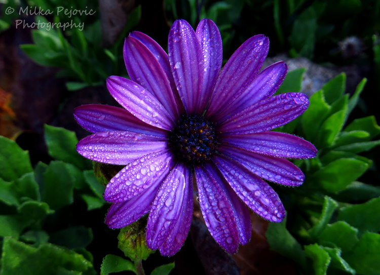 Floral Friday Fotos: dark purple aster flower with raindrops