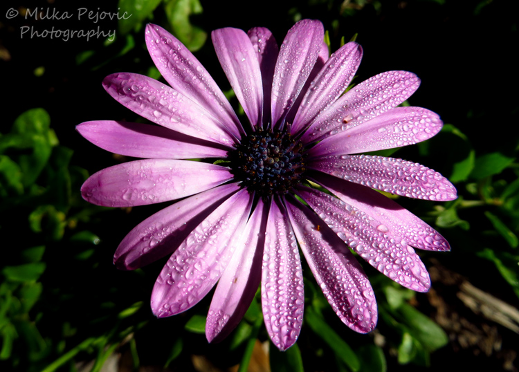 Violet: purple aster with water drops