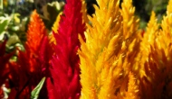 Floral Friday Fotos: Celosia, the flowers on fire