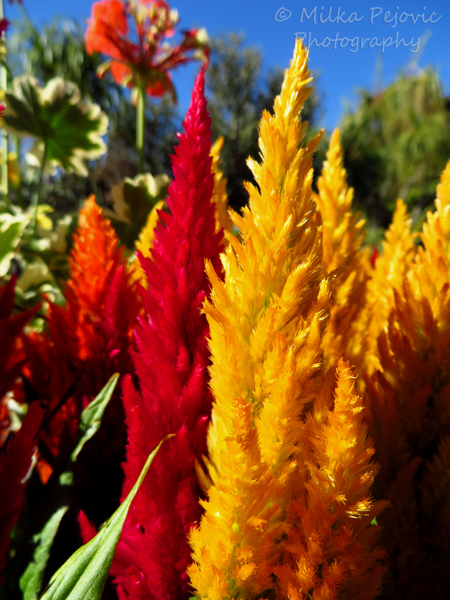 Floral Friday Fotos: Celosia flowers look like flames