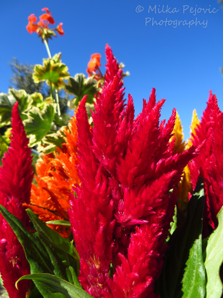 Red Celosia flowers