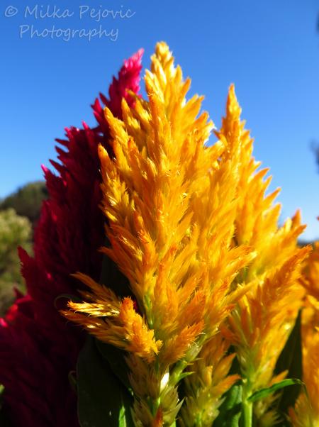 Yellow Celosia flowers
