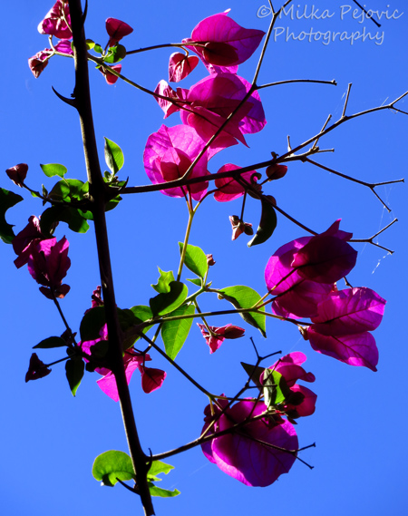 A word a week photo challenge: lines of a bougainvillea tree branches