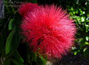 A word a week photo challenge: lines of a pink powder puff bloom