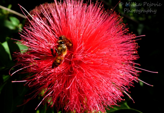Macro Monday: bees on pink powder puff flower