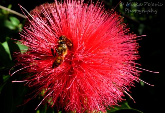 Macro Monday: bees on pink powder puff flower
