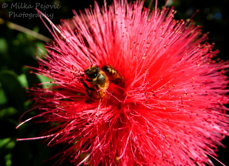 Macro Monday: bees on pink powder puff bloomMacro Monday: bees on pink powder puff bloom