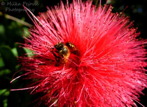 Macro Monday: bees on pink powder puff bloomMacro Monday: bees on pink powder puff bloom