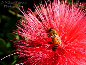 Close-up on a bee on pink powder puff flower
