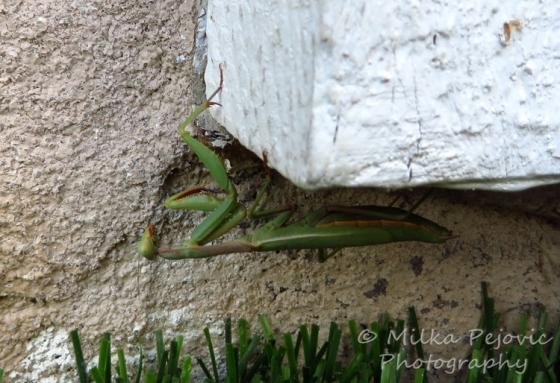 Macro Monday: juvenile praying mantis