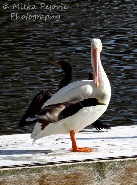 Wordpress weekly photo challenge: Unexpected duck flies in front of pelican